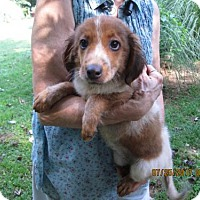 Adopt A Pet :: KENZIE - Lincolndale, NY