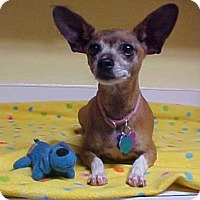 Adopt A Pet :: Amber - 11 lbs - Dahlgren, VA