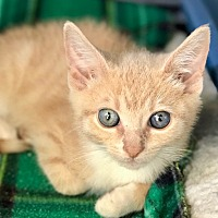Adopt A Pet :: Shine - Island Park, NY