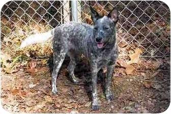 Australian Cattle Dog Dog for adoption in Siler City, North Carolina - Bliss