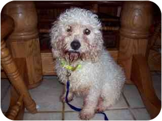 Cockapoo/Poodle (Miniature) Mix Dog for adoption in Oak Ridge, New Jersey - Harmony