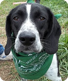Beagle Mix Dog for adoption in Lapeer, Michigan - Sprocket