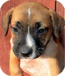 Boxer/Labrador Retriever Mix Puppy for adoption in Manchester, Connecticut - Milo in CT