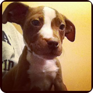 Pit Bull Terrier/American Staffordshire Terrier Mix Puppy for adoption in Columbus, Ohio - Willow