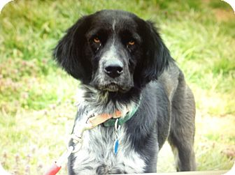 Flat-Coated Retriever Mix Dog for adoption in Albany, New York - Bailey