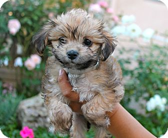 Poodle (Miniature)/Spaniel (Unknown Type) Mix Puppy for adoption in Los Angeles, California - Constance