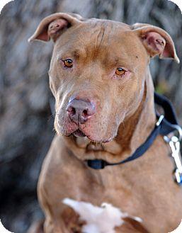 Pit Bull Terrier Mix Dog for adoption in Santa Monica, California - Bentley