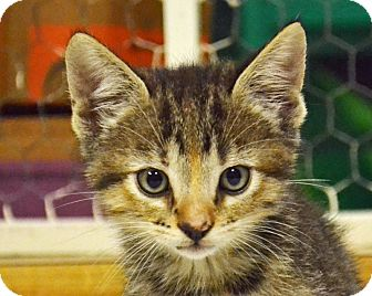 Domestic Shorthair Kitten for adoption in Searcy, Arkansas - Josie