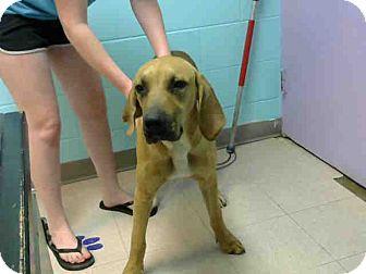 Redbone Coonhound/Bloodhound Mix Dog for adoption in Lufkin, Texas - A041096