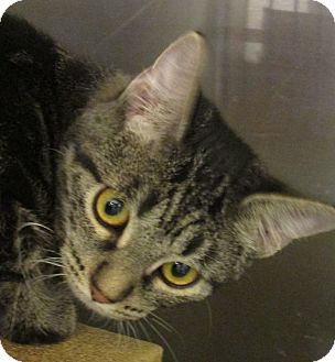 Domestic Shorthair Kitten for adoption in Pueblo West, Colorado - Dalora loo