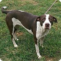 Adopt A Pet :: Sugar - Moulton, AL