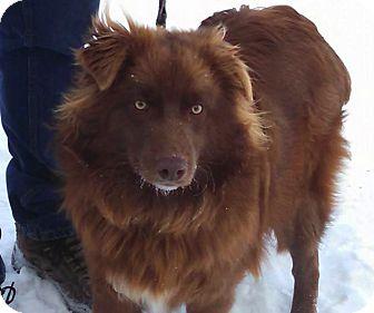 Australian Shepherd Dog for adoption in Minneapolis, Minnesota - River