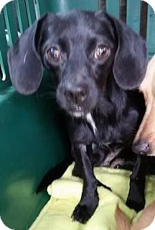 Dachshund Mix Dog for adoption in Gainesville, Florida - Sherry