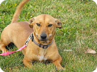 Terrier (Unknown Type, Medium)/Basset Hound Mix Dog for adoption in Napoleon, Ohio - Chester