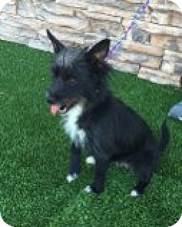 Terrier (Unknown Type, Small) Mix Dog for adoption in Las Vegas, Nevada - Olivia