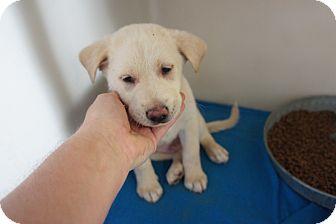 Labrador Retriever Mix Puppy for adoption in Henderson, North Carolina - Chance