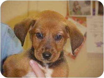 Hound (Unknown Type) Mix Puppy for adoption in Burnsville, North Carolina - Holly