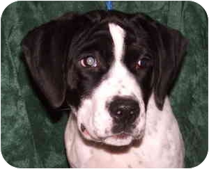 Pointer/Spaniel (Unknown Type) Mix Puppy for adoption in Aledo, Illinois - Matilda