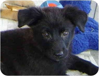 Shepherd (Unknown Type) Mix Puppy for adoption in Montevallo, Alabama - Carla