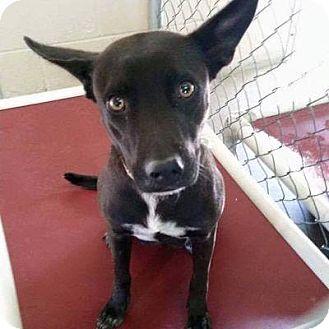 Australian Cattle Dog/Shepherd (Unknown Type) Mix Dog for adoption in Denver, Colorado - Adele