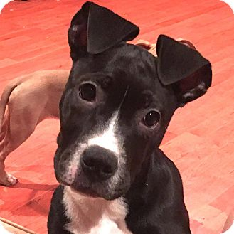 Boxer/Hound (Unknown Type) Mix Puppy for adoption in CUMMING, Georgia - Chloe