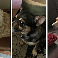 Terrier (Unknown Type, Small)/Chihuahua Mix Dog for adoption in Austin, Texas - Rocky, Rainbow & Katie
