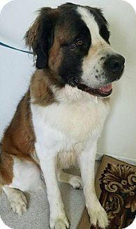 St. Bernard Dog for adoption in monroeville, Pennsylvania - EDEN