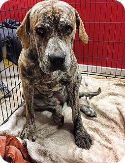 Hound (Unknown Type) Mix Dog for adoption in Sturbridge, Massachusetts - Ms. Hattie