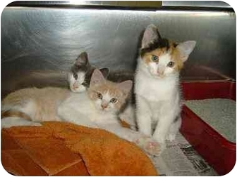 Domestic Shorthair Kitten for adoption in Bristol, Rhode Island - Buzz