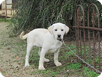 Labrador Retriever Mix Puppy for adoption in Bedminster, New Jersey - CARSON