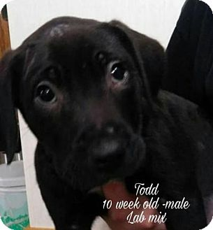 Labrador Retriever Mix Puppy for adoption in Plainfield, Illinois - Todd
