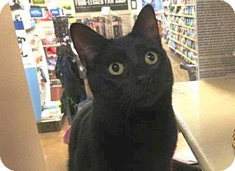 Domestic Shorthair Cat for adoption in Springfield, Oregon - Sheldon