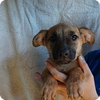 Adopt A Pet :: Candy - Oviedo, FL