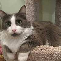 Domestic Mediumhair Cat for adoption in East Brunswick, New Jersey - Grace