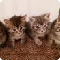 Adopt A Pet :: Sterling and Siblings - Mission Viejo, CA