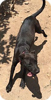 Collie/Labrador Retriever Mix Puppy for adoption in Buffalo, New York - Olive