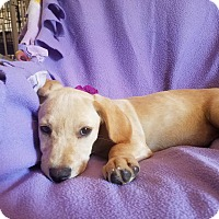 Labrador Retriever Mix Puppy for adoption in Burlington, Vermont - Sienna (see video)