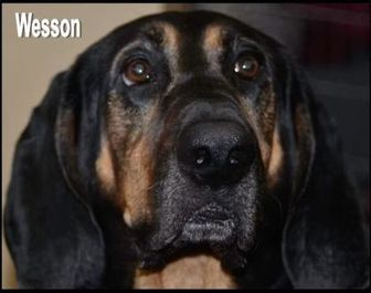Coonhound Mix Dog for adoption in West Columbia, South Carolina - Wesson