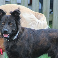 Australian Shepherd Mix Dog for adoption in Aurora, Illinois - Rodan
