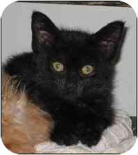 Domestic Shorthair Kitten for adoption in Arlington Heights, Illinois - Lillian Hellman