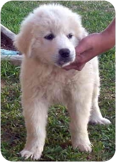 Great Pyrenees Puppy for adoption in Kyle, Texas - Fluffy