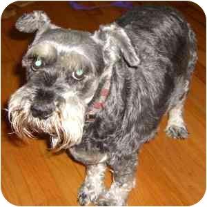 Schnauzer (Miniature) Dog for adoption in Redondo Beach, California - Deana