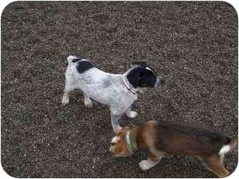 Australian Cattle Dog/German Shepherd Dog Mix Puppy for adoption in Spokane, Washington - Skunk