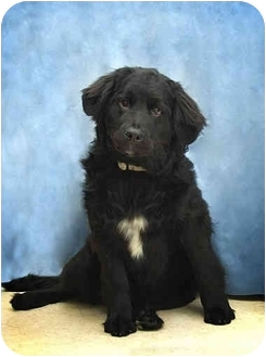 Newfoundland/Labrador Retriever Mix Dog for adoption in Port Hope, Ontario - Tiffany (newf)