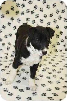 Shar Pei/Shepherd (Unknown Type) Mix Puppy for adoption in Broomfield, Colorado - Blackburn
