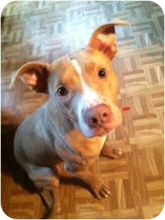 American Pit Bull Terrier Mix Dog for adoption in Dallas, Pennsylvania - Freddy