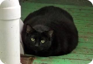 Domestic Shorthair Cat for adoption in Orillia, Ontario - Gabrielle