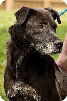 Labrador Retriever Mix Dog for adoption in Martinsville, Indiana - Butch