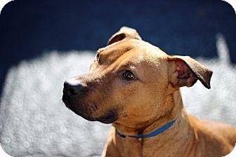 Pit Bull Terrier Dog for adoption in Port Washington, New York - Gulliver