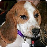 Adopt A Pet :: Jingle - Portland, OR